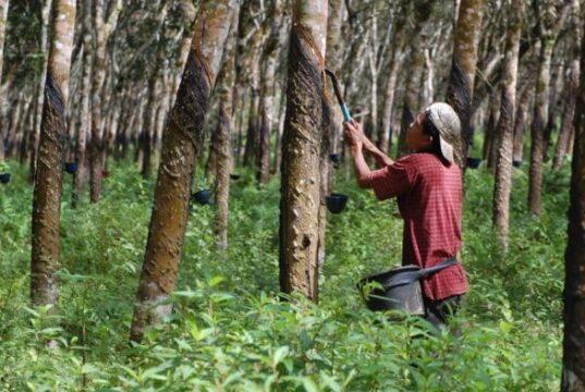 Miris, Nasib Petani Karet di Kampar Saat Harga Jual Anjlok, Ada Yang Kerja Serabutan hingga Jadi TKI ke Malaysia