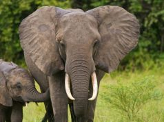 11 Gajah Liar yang Masuk Perkebunan di Rumbai Bakal Digiring ke Tahura