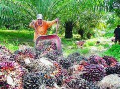 Harga TBS Kelapa Sawit Riau Turun Lagi, Berikut Daftar Harganya