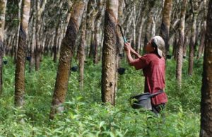 Harga Karet di Kuansing Riau Mulai Terus Menanjak